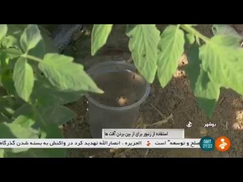Iran Trichogramma bee for Tomato fields, Abdanan city, Boushehr زنبور تريكوگراما كشتزار گوجه فرنگي