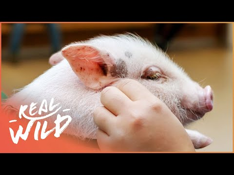Britains First Performing Little Pig!   Wild Things Shorts