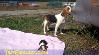 Queen Elizabeth Pocket Beagles Tiny Miniature Cute Beagle Video For Sale