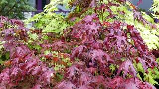 Choose a favorite Japanese maple - Amazing maples & Crazy Conifers
