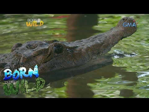 Born to Be Wild: Doc Nielsen examines a 79-year-old Philippine freshwater crocodile