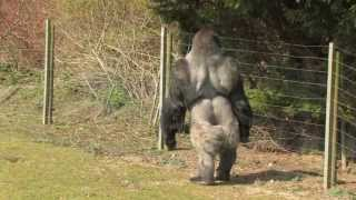 AMBAM the NEW Video! The 'SWAGGER' Bits! Gorila that stands & walks like a Man!