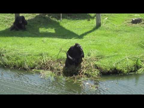 Chimpanzee doing some basic sign language