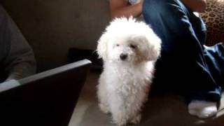 "Maltese Poodle Saying ""i Love You"""