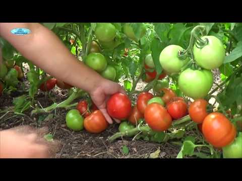 Посев хороших низкорослых томатов. Сорта, гибриды, ГМО-в чём разница?