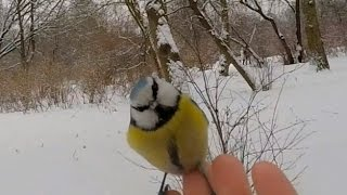 The conact a blue tit and  man. Slow motion. Filmed on GoPro HERO4 Black Edition, 120fps