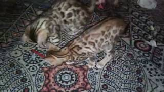 бенгальские котята мальчик и девочка