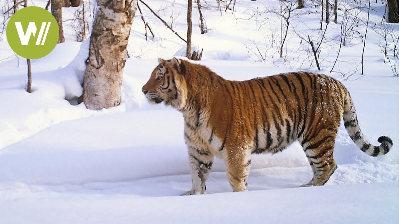 Sibirischer Tiger Auf Der Spur Der Grossten Katze Der Welt Youtube