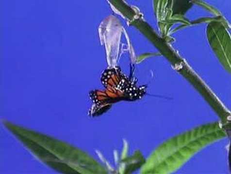 Download Monarch butterfly metamorphosis