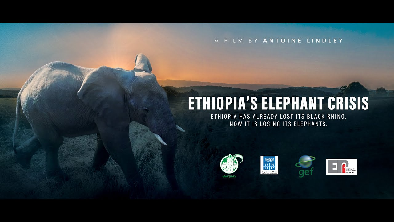 Ethiopia's Elephant Crisis | Full Documentary | A Film by Antoine Lindley