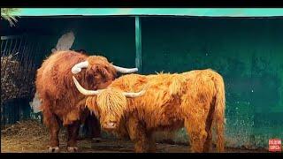 ТАКАЯ НЕЖНОСТЬ между шотландскими коровками! Ребёнок спит,у родителей нежность...