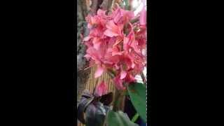 Hedychium  Elizabeth