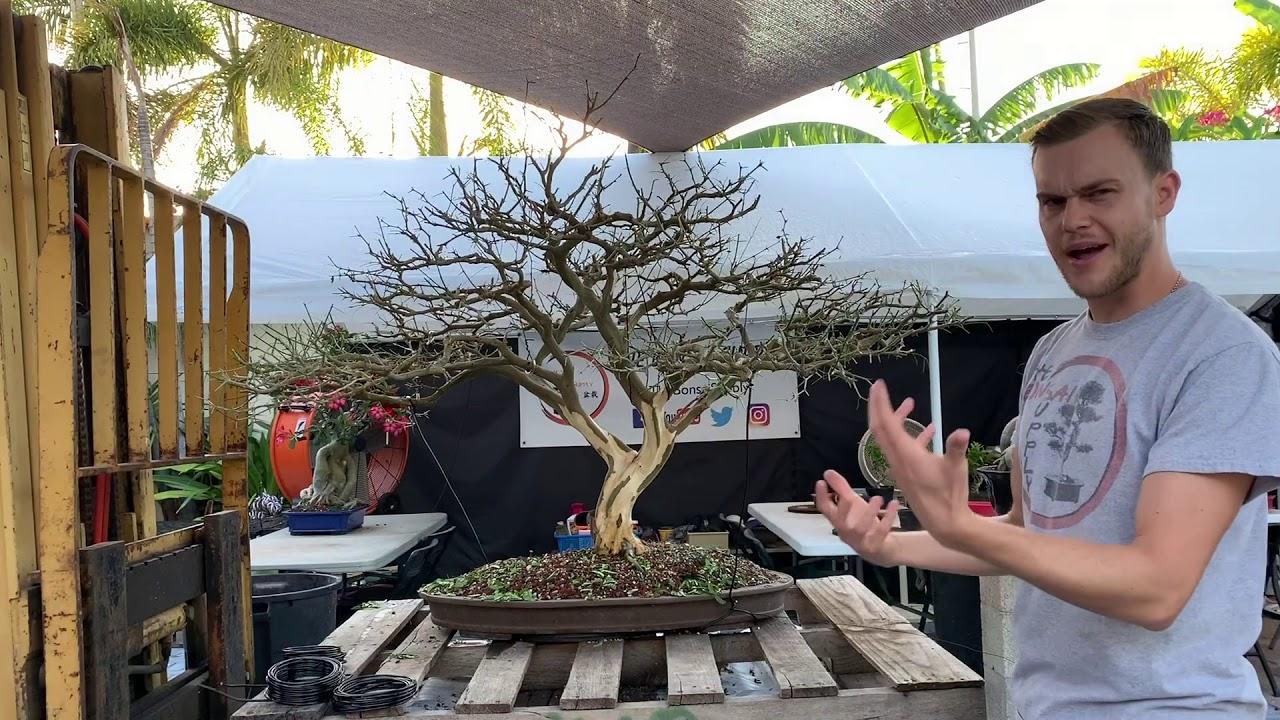 Brazilian Raintree Bonsai Makeover At The Bonsai Supply Youtube