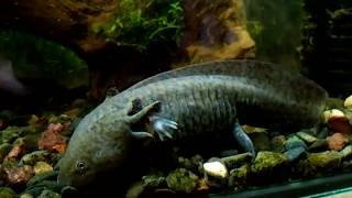 мексиканский водяной дракон.