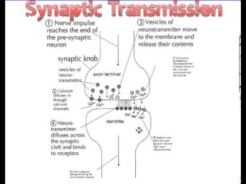 Synaptic Transmission Youtube