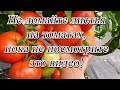 Не удаляйте листья на томатах до просмотра этого видео! Советы агронома. видео