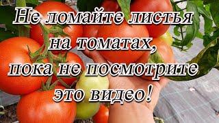 Не удаляйте листья на томатах до просмотра этого видео! Советы агронома.