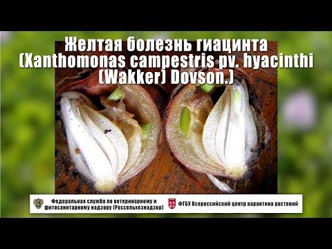 Желтая болезнь гиацинта (Xanthomonas Campestris  Pv. Hyacinthi  (Wakker) Dovson.)
