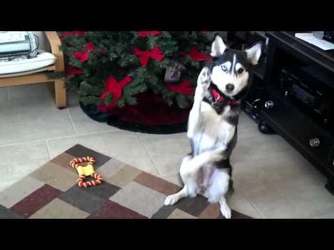 Tenshi the Husky's First Tricks