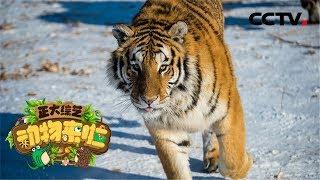 《正大综艺·动物来啦》在东北虎栖息地 走近林海雪原的守护者们 20200322 | CCTV
