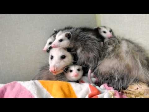 Opossum Babies getting too big for Mother,  'Opossum, Dr. Kenneth Jones Animal Hospital.'