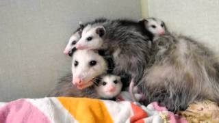 "Opossum Babies getting too big for Mother,  ""Opossum, Dr. Kenneth Jones Animal Hospital."""