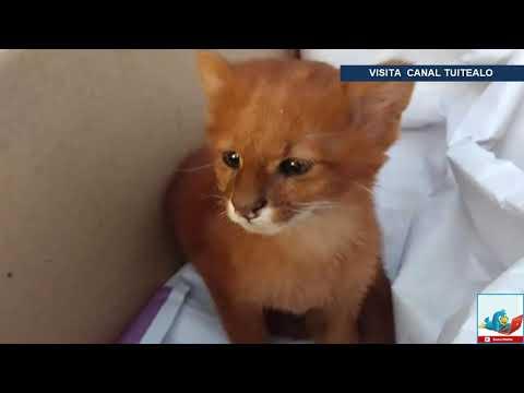 Mujer adopta 'gatito' abandonado y en realidad era un puma