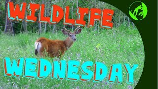 Wildlife Wednesday Collaboration Week 3 - Wildlife in our area!