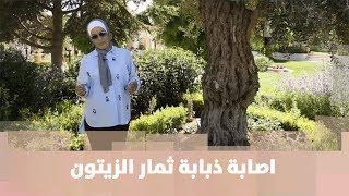 م. أمل القيمري - اصابة ذبابة ثمار الزيتون