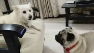 Pug Plays With Pomeranian