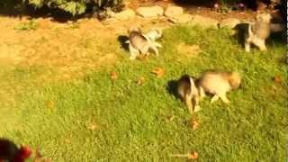 Pugapoo Puppies - Www.greenfieldpuppies.com