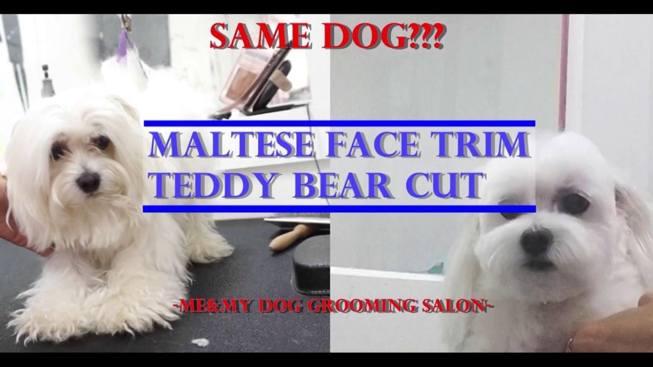 how to groom maltese teddy bear cut