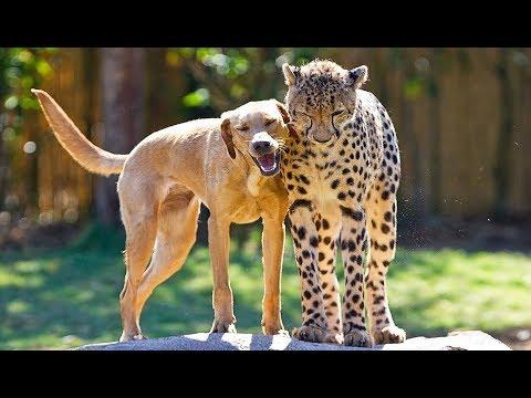 Un guépard ami avec un chien ! - ZAPPING SAUVAGE