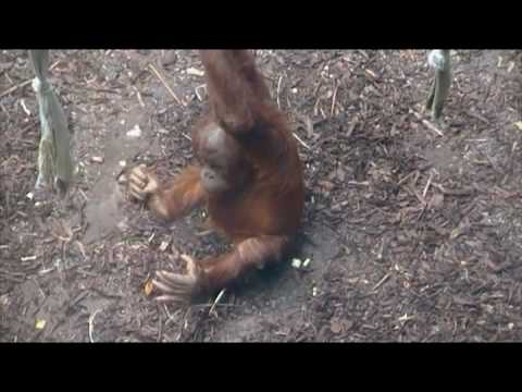 Bornean & Sumatran Orangutans at Chester Zoo
