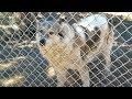 [テレビ予告] オオカミと戦士たち アニマルプラネット
