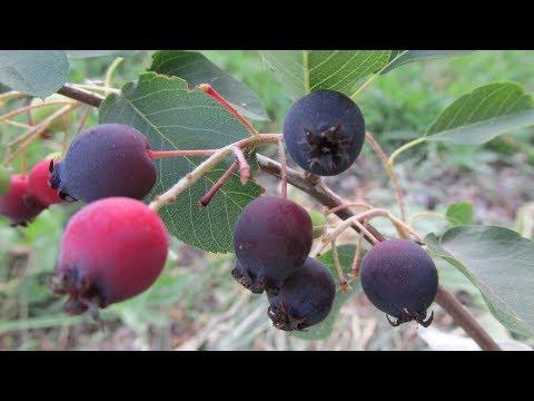 Ирга канадская - первый урожай