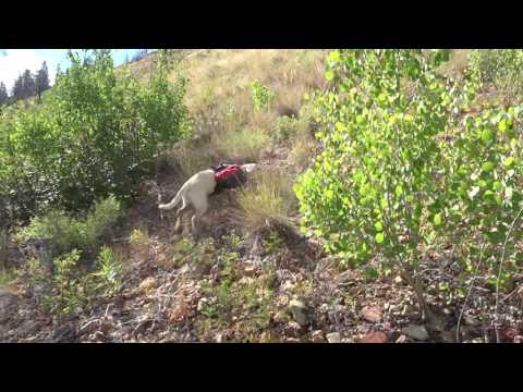 Samba chases forest grouse - Frank Church Wilderness