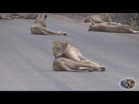 Leões Bloquearam  Estrada em parque selvagem na África do Sul | Canal 82-Angola