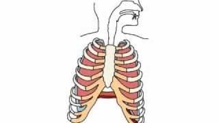 Дыхание, работа легких и диафрагмы. Видео-урок №2