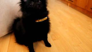 Black Pomeranian/kleinspitz Puppy Barking For The Ball