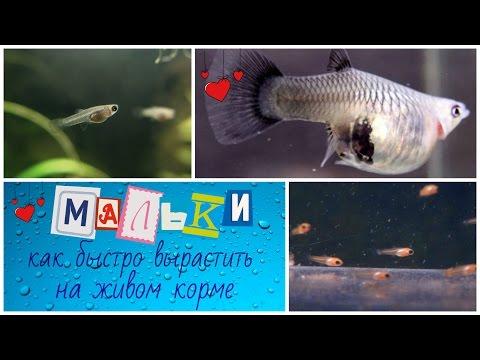 Мальки рыбок ГУППИ, как я поднимаю Малька