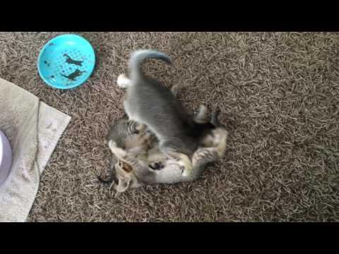 Bengal singapura kittens