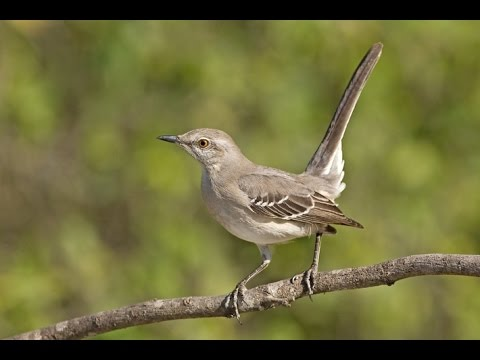 Mockingbird Night Song Soundscape with Crickets 35 minutes