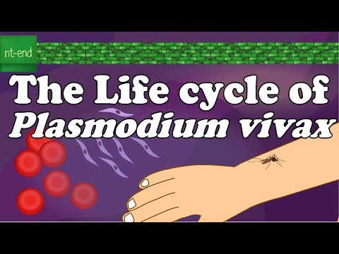 Asexual cycle of plasmodium vivax in man
