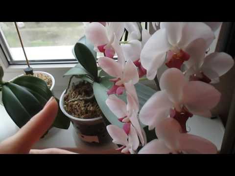 Цветение орхидеи: уход во время и после цветения