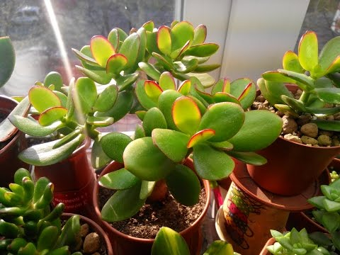 "Денежное дерево  Crassula Ovata ""Hummel's Sunset"""