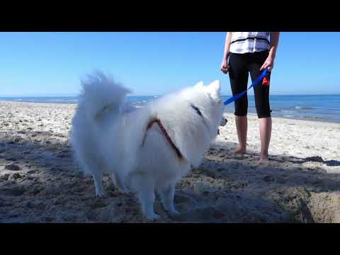 Akira the Japanese Spitz - sixth video