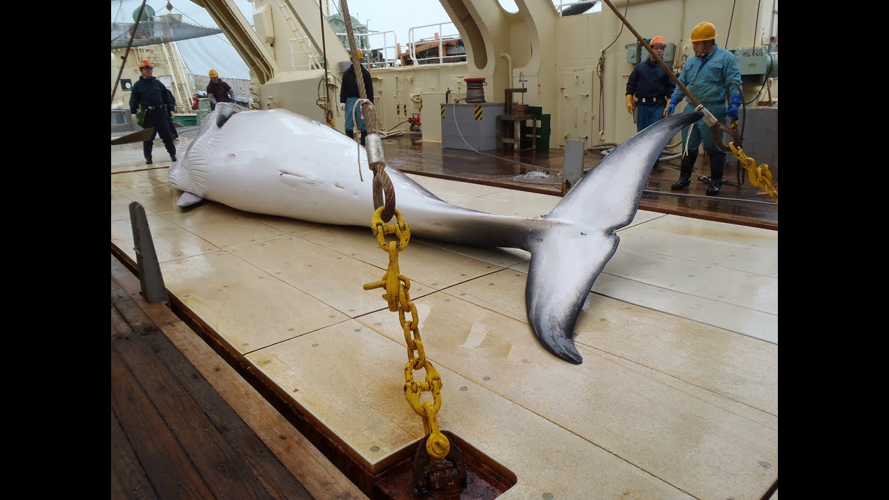 japanese whaling Warning, graphic images: gruesome video footage obtained from the australian government shows a controversial japanese whaling operation in the southern ocean.