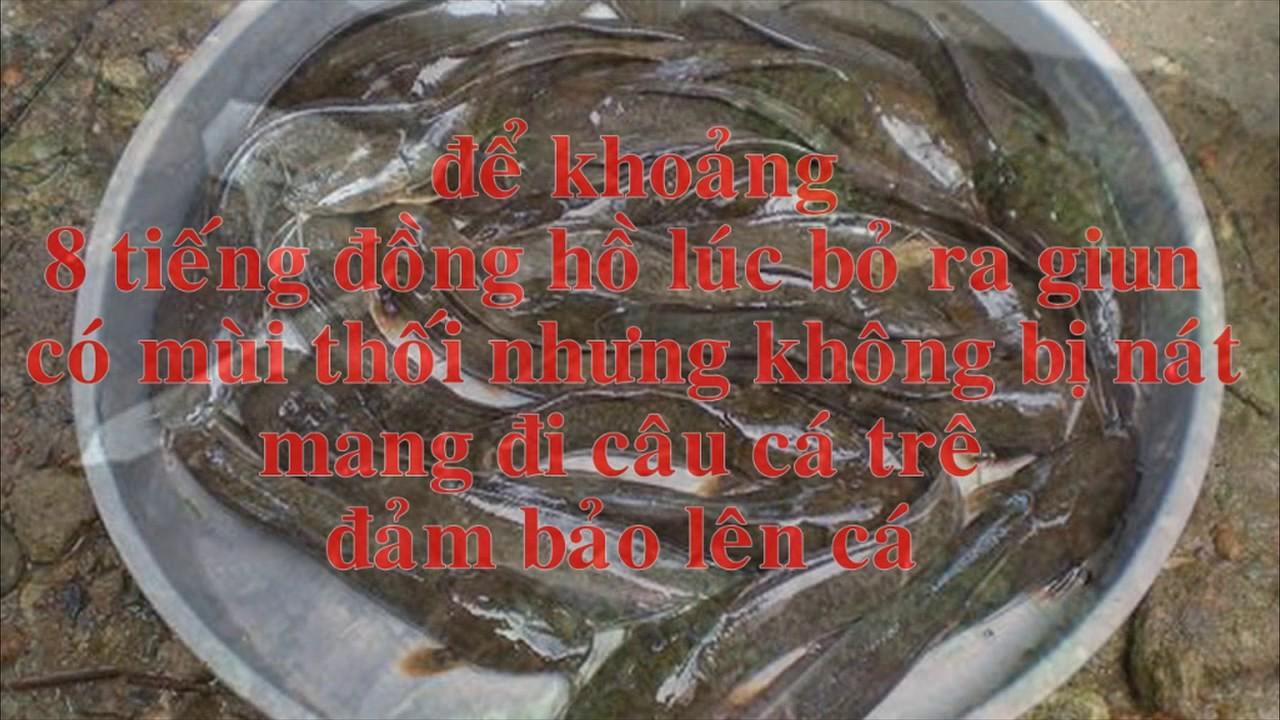 Mồi câu cá trê giật mỏi tay luôn