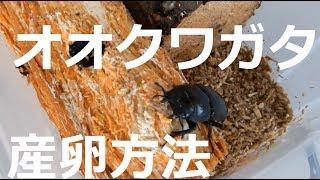 【初心者必見!!】オオクワガタの産卵のさせ方を分かりやすく紹介します!! thumbnail